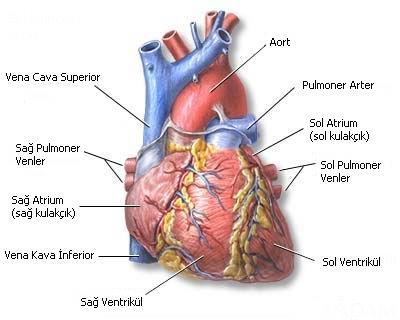 Kalbin Önden Görünüşü